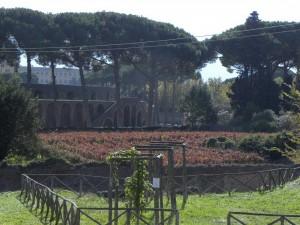 Vigneto sperimentale negli Scavi di Pompei