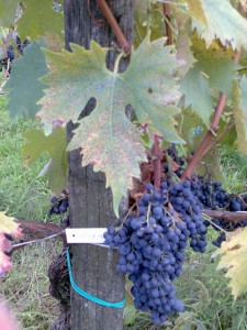 Vite centenaria di Sangiovese in Viggiano