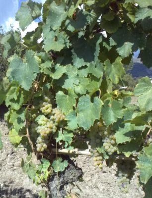Relazione sugli antichi vitigni della Val d'Agri