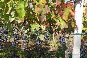 Il grande patrimonio di biodiversità viticola lucana