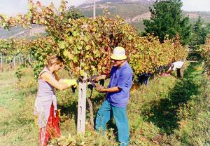 30/10/2006 Vendemmia di Aglianico